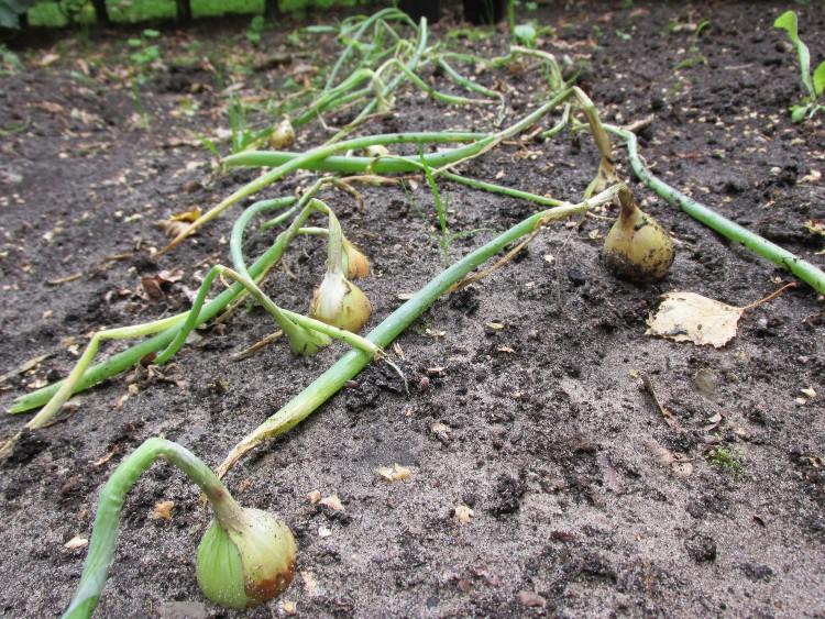 ui plantuien boven de grond