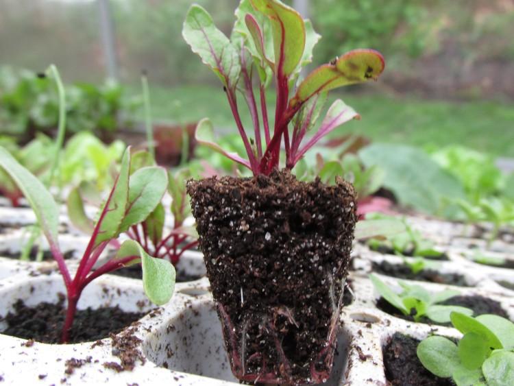 voorgezaaide rode biet groentetuin april