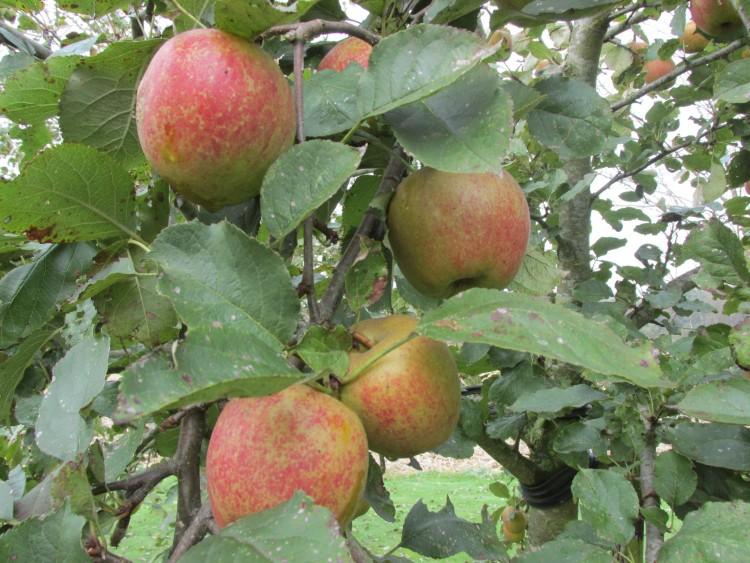 appels appelboom