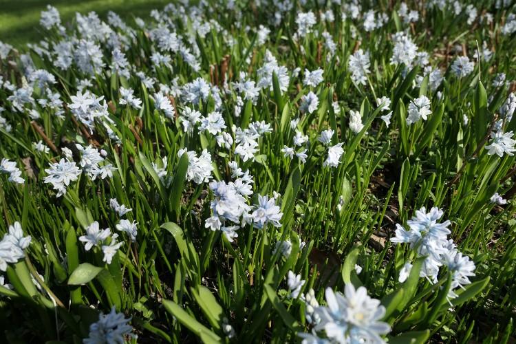puschkinia veld bloembollen
