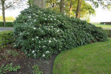 rododendron bladaarde
