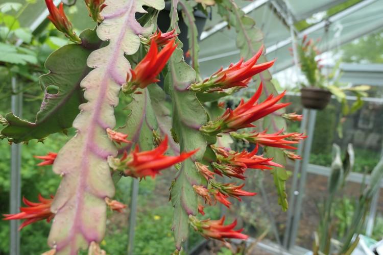 bloeiende cactus voedingsstromen