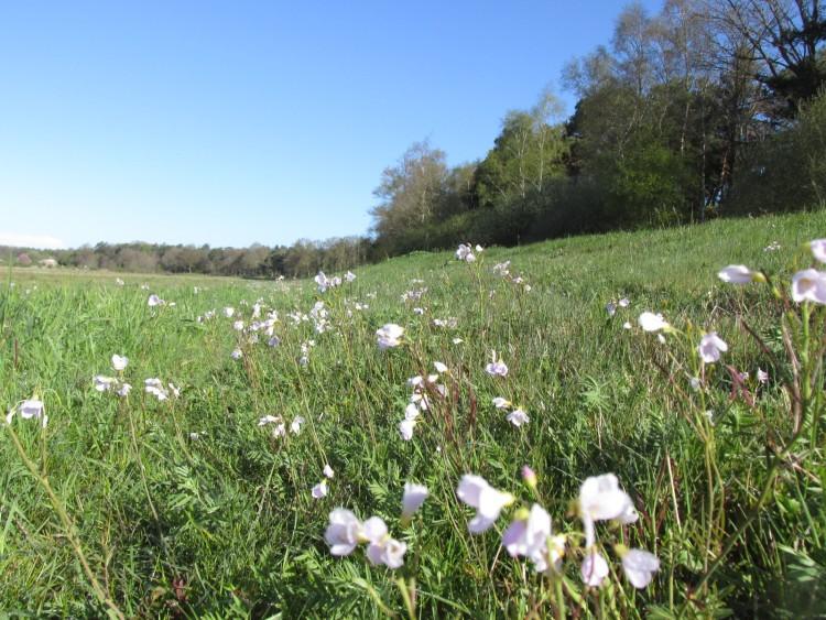 pinksterbloemen veld