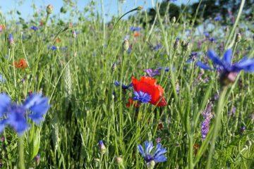 biodiversiteit korenbloem klaprozen750