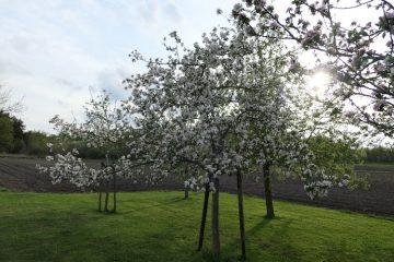 bloeiende appelboom boomgaard bij artikel over junirui