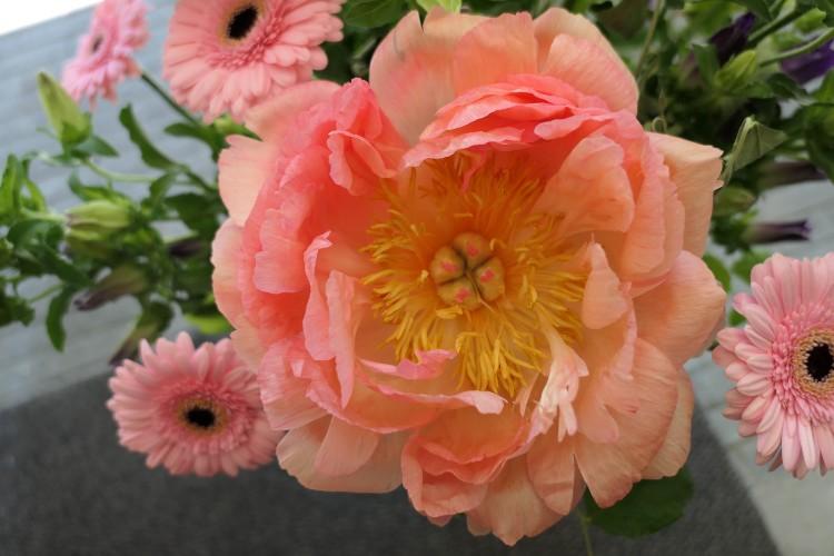 bloeiende pioenroos