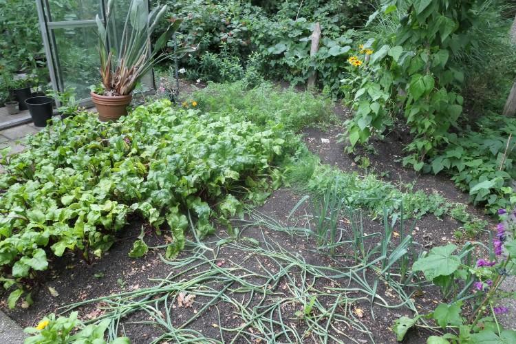 groentetuin in augustus