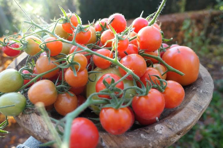 moestuin oktober: laatste tomaten