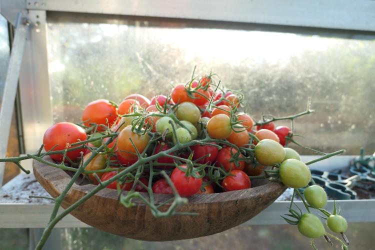 laatste oogst tomaten kas