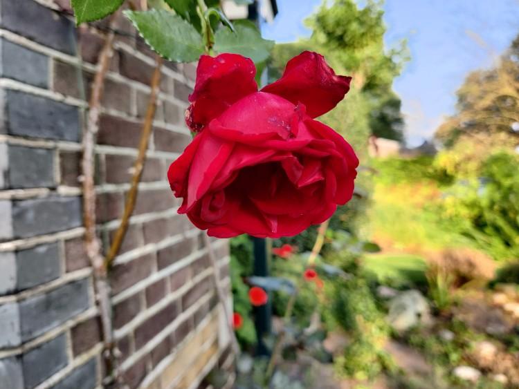 roos oktober